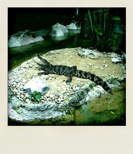 Dusit zoo Crocodile du Siam