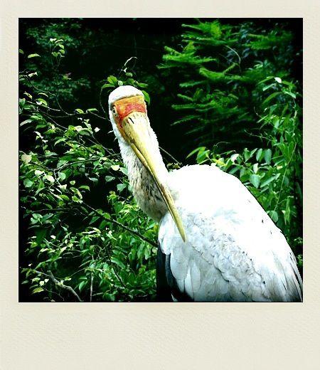 Kuala Lumpur Bird Park tantale ibis