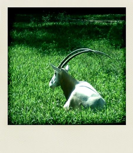 Kuala Lumpur Zoo Negara Oryx algazelle