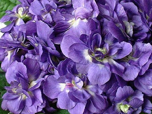 Violette-Marie-Louise.jpg