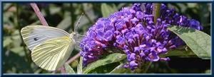 buddleias-copie-1.jpg