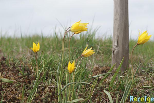 recofge tulipes