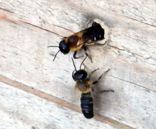 megachile-sculturalis-le-couple-2---X