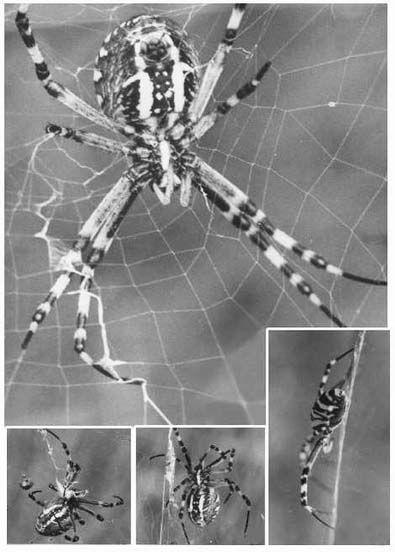 Arachnides/chrono848_1