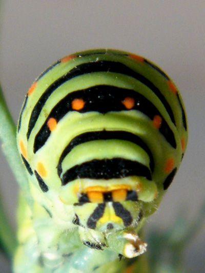 Papilio-machaon/chrono1810_1