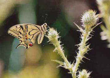 Papilio-machaon/chrono233_1
