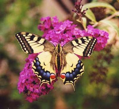 Papilio-machaon/papilio_machaon