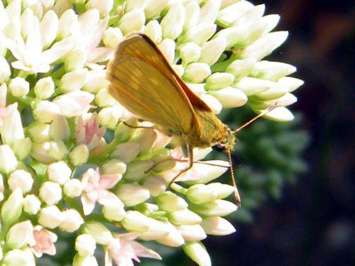 Papillons/chrono1799_1