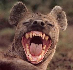 souriez-hyene-1-.jpg