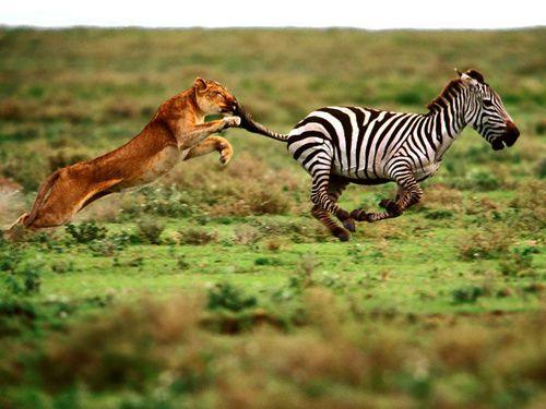 lion-et-zebre.jpg