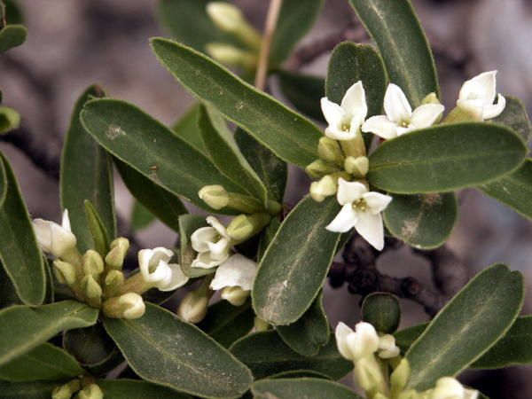 how to prune daphne