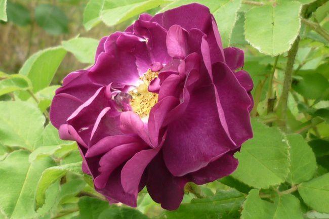 Roses mai 2011 06