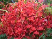 Fleur-flamboyant.jpg