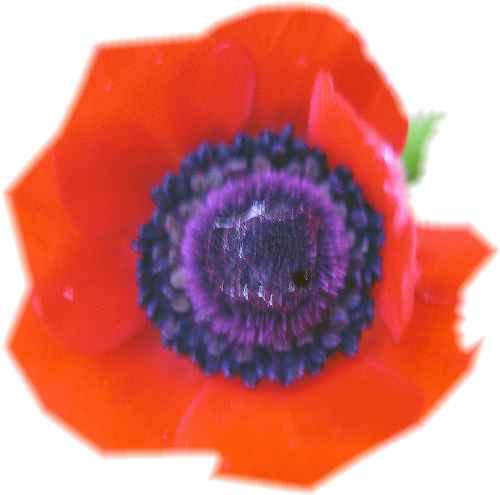 coquelicot2.png