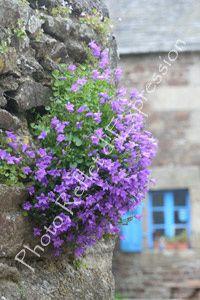 Campanule muralis, fleur de Bretagne