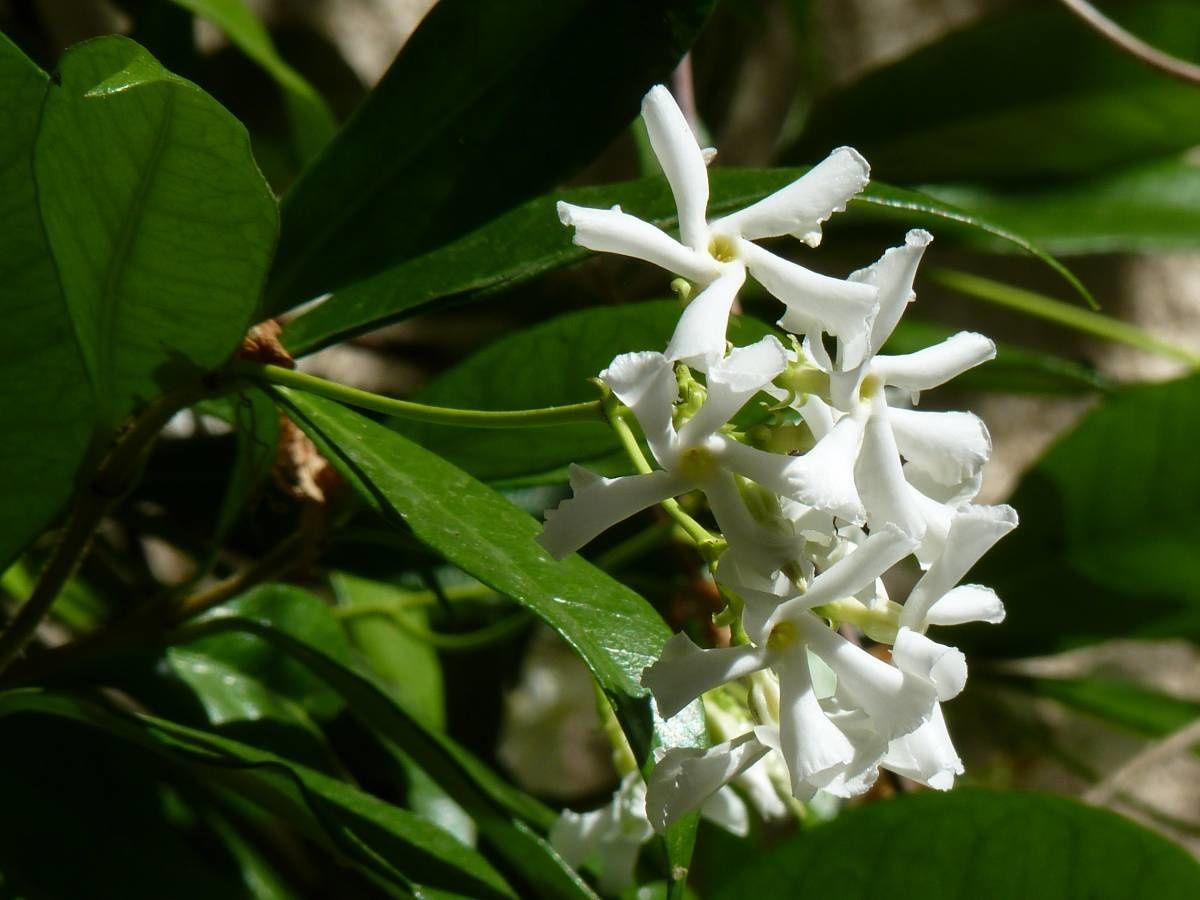 jasmin etoil trachelospermum jasminoides faux jasmin le temps des fleurs. Black Bedroom Furniture Sets. Home Design Ideas