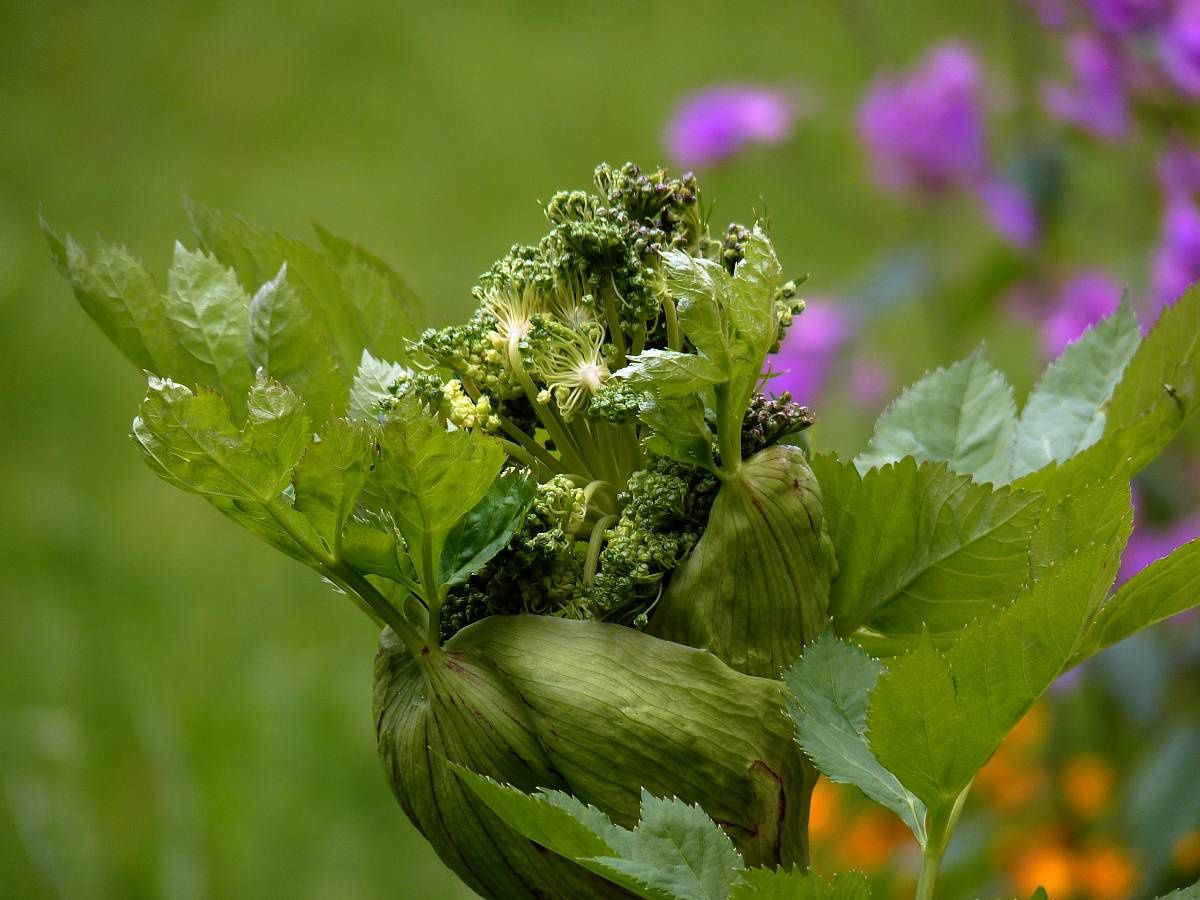 Angelique-officinale-Angelica-archangelica