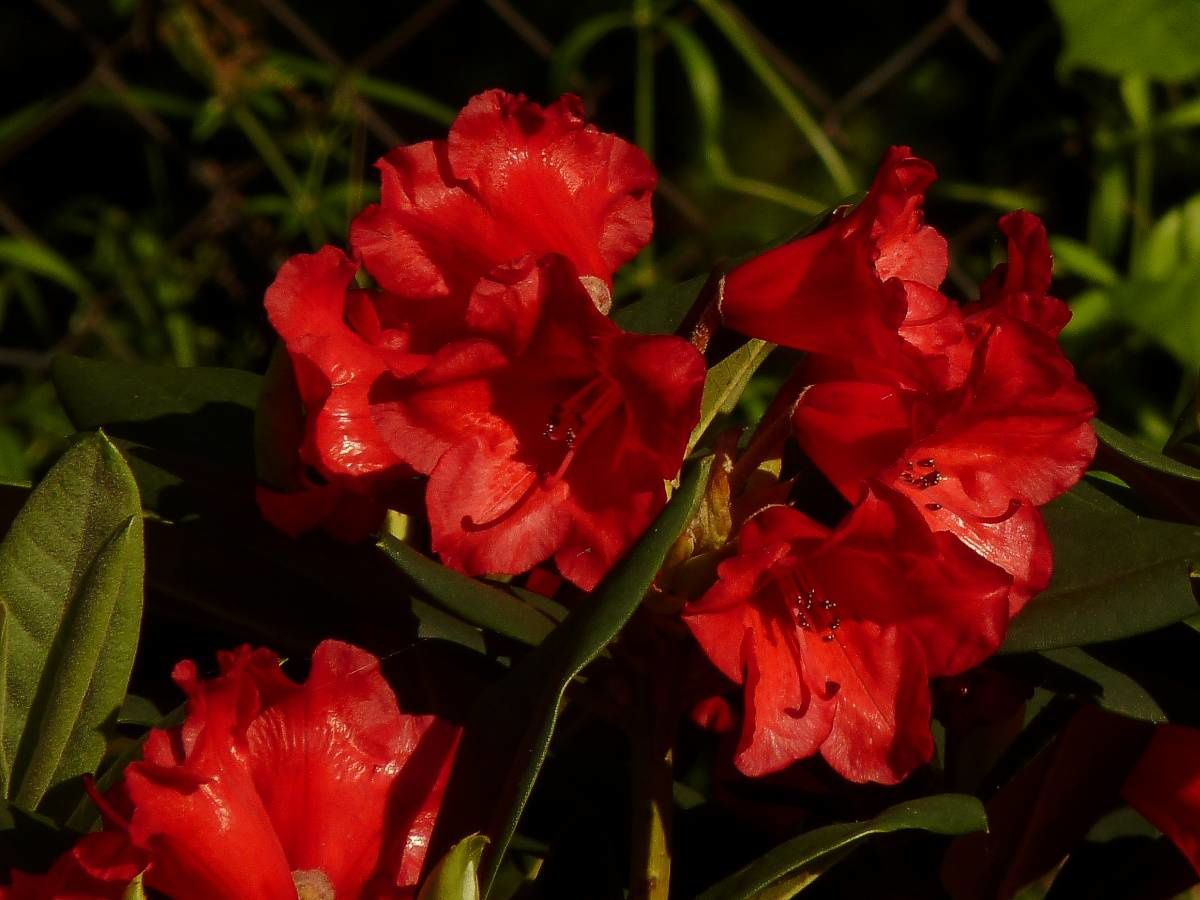 Rhododendron-Melville