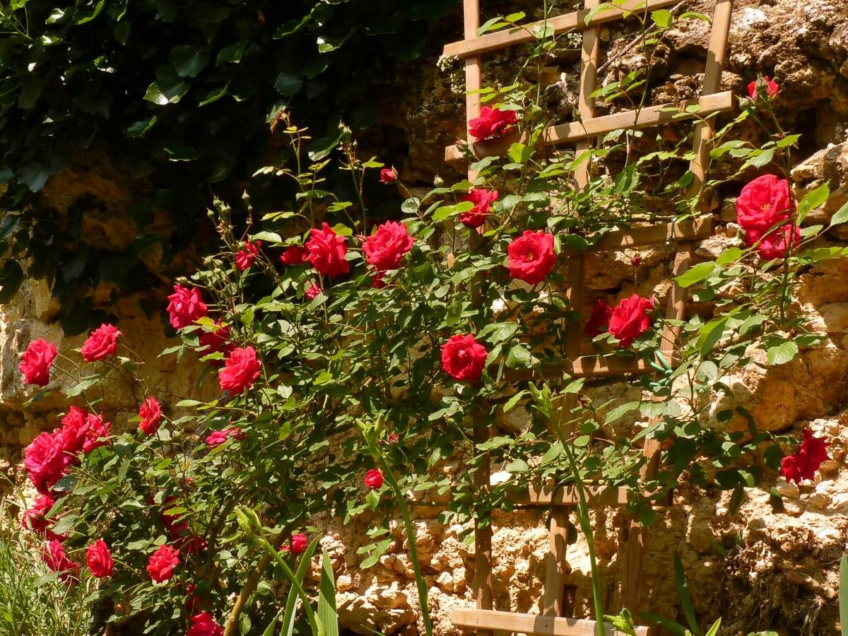 Rosiers-rouge-falaise