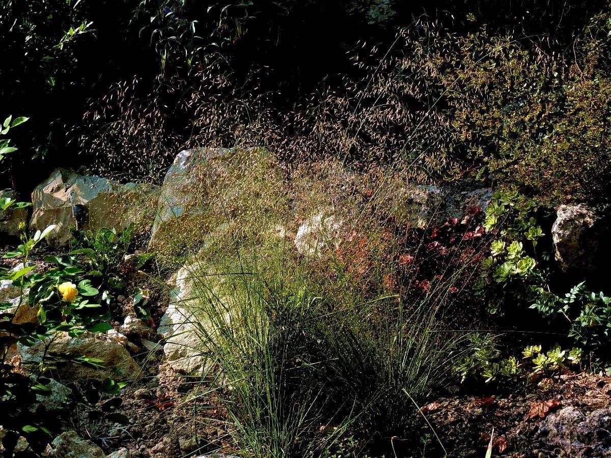 Eragrostis-Trichodes