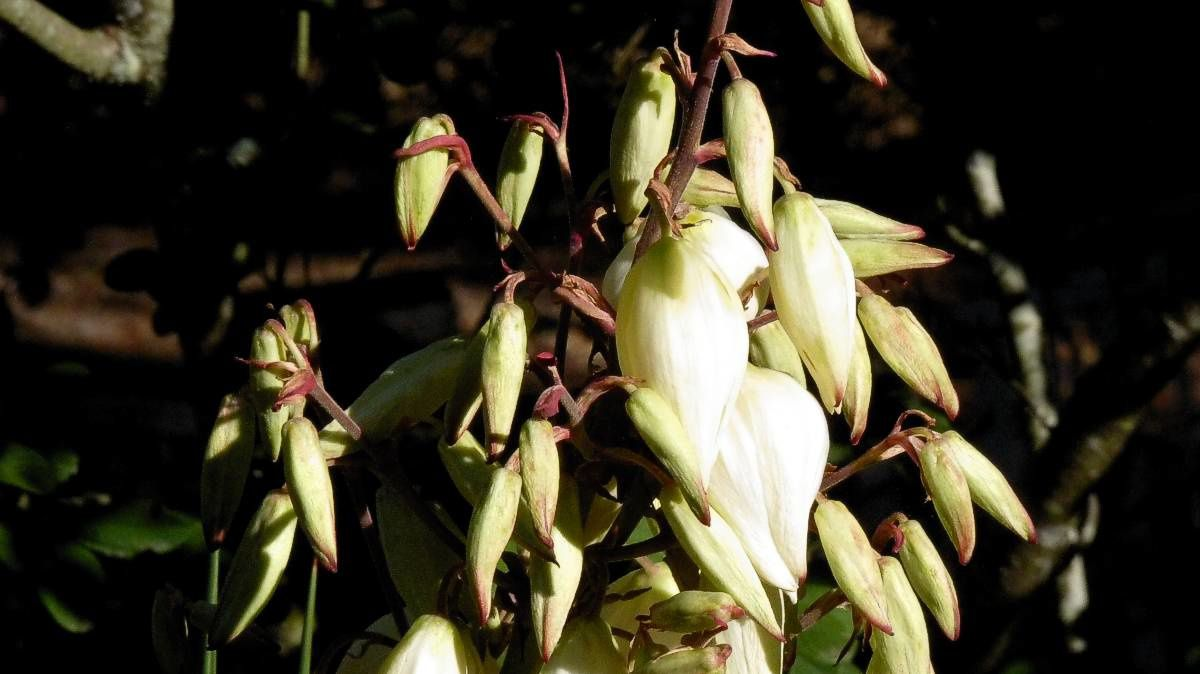 Yucca fleurs