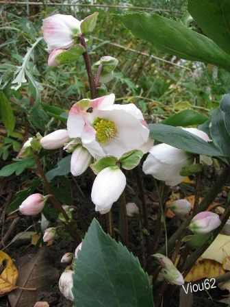 Hellebore niger viou62 for Laurier tin gwenllian
