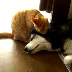 chat-leche-chien-husky-video.jpg