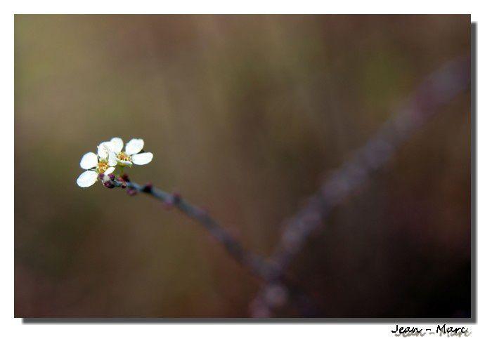 fleur blanche r