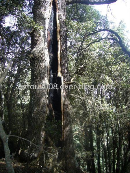 azrou, azrou2008, http://azrou2008.over-blog.com, Pierre GAYET, cedar, cedars, cedrus, atlantica, arbre, Morocco