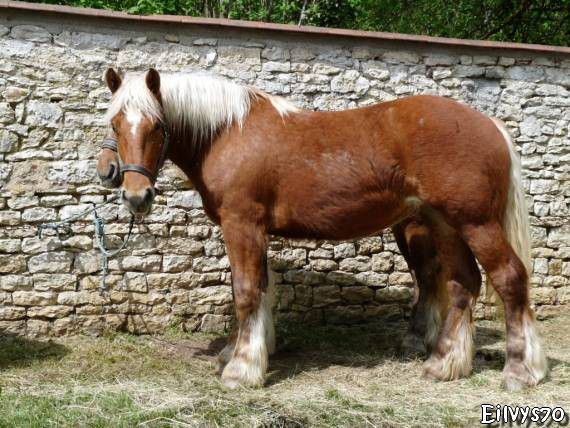 CHEVAL COMTOIS MARNAY 2