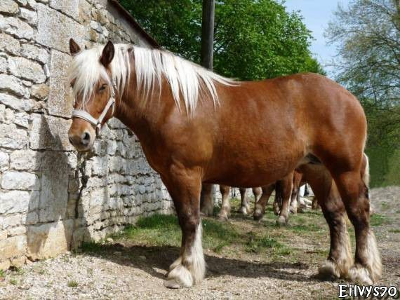 CHEVAL COMTOIS MARNAY