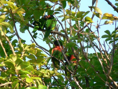 perruches 3