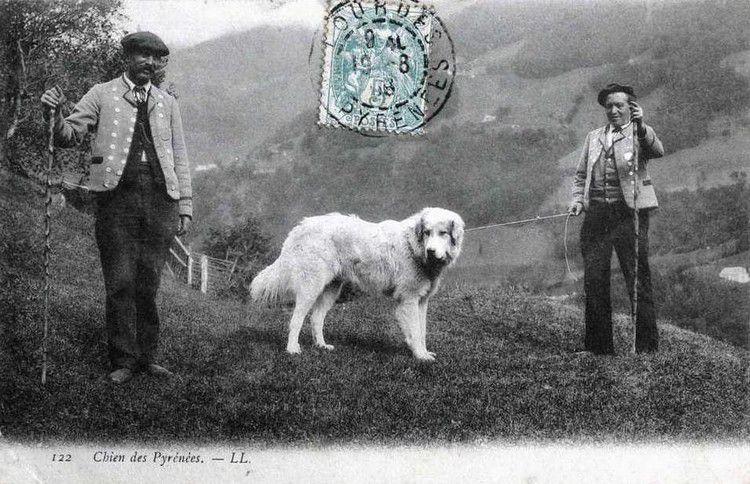 Chien des pyrénées 1908