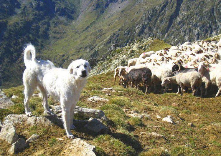 chien de berger au sommet de la Cardinquère 01