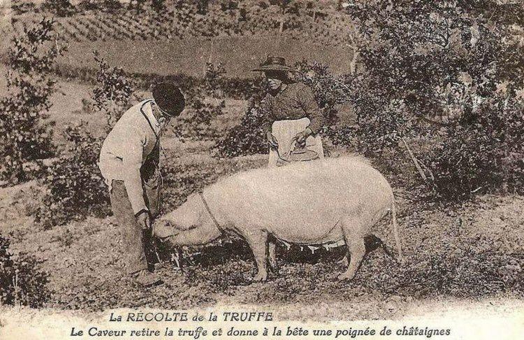 le cochon truffier 01 en 1900