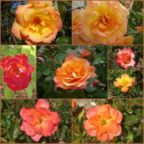 roses-d-automne.jpg