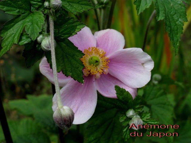 (2011 08) 0093 Anémone Japon