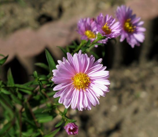 Aster(2011 09) 0137