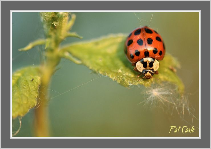 coccinelle-rainette-076---Copie-border.jpg