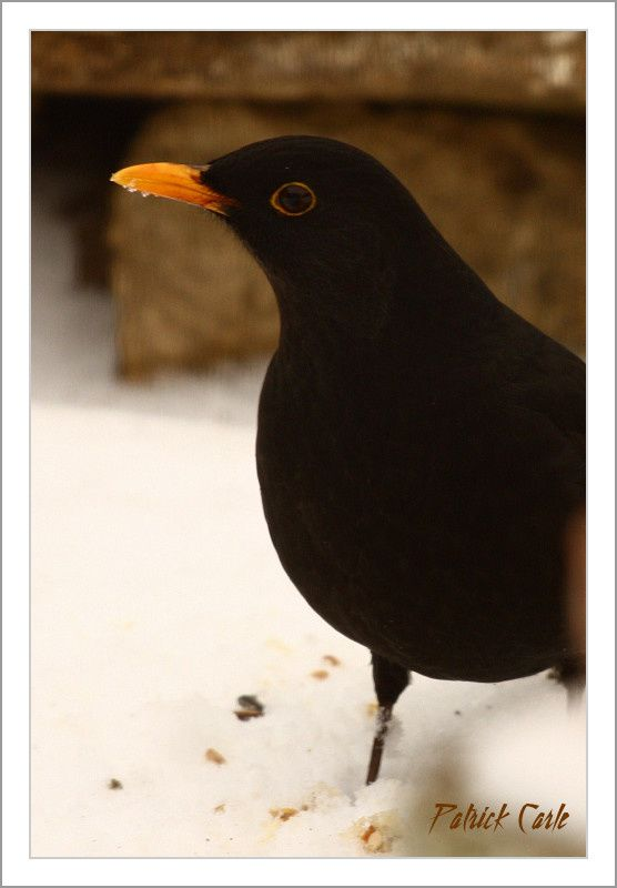 oiseaux-elle-fond-la-neige-025-border.jpg