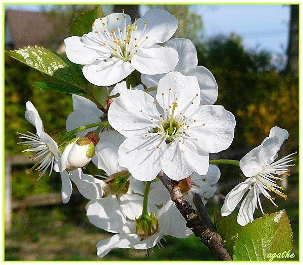 cerisier-sauvage.jpg