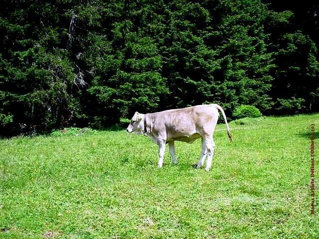 Petite-grise-des-Alpes.JPG