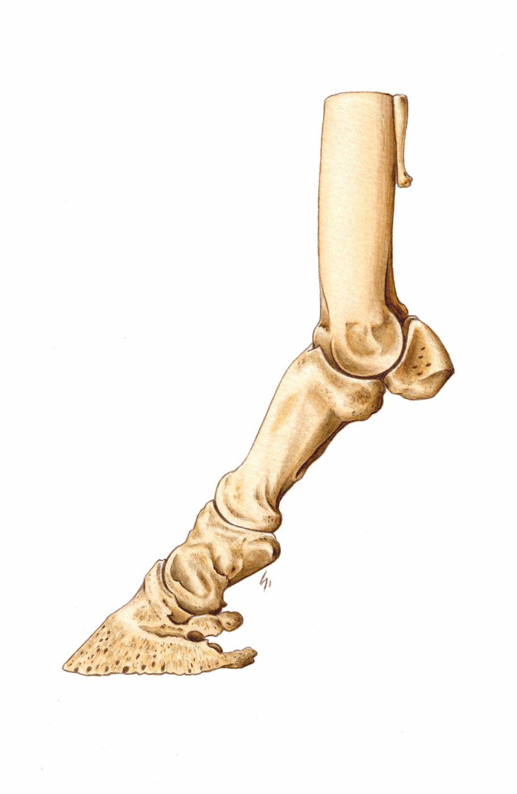 Illustrations d'anatomie pour plaquettes, packagings et stand d'expo&#x3B; clients : Mérial et Audevard