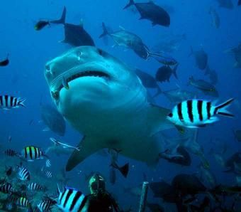 requin oceanique