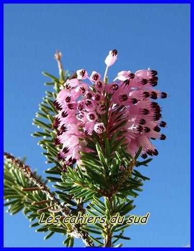 bruyère erica multiflora (2) [640x480]