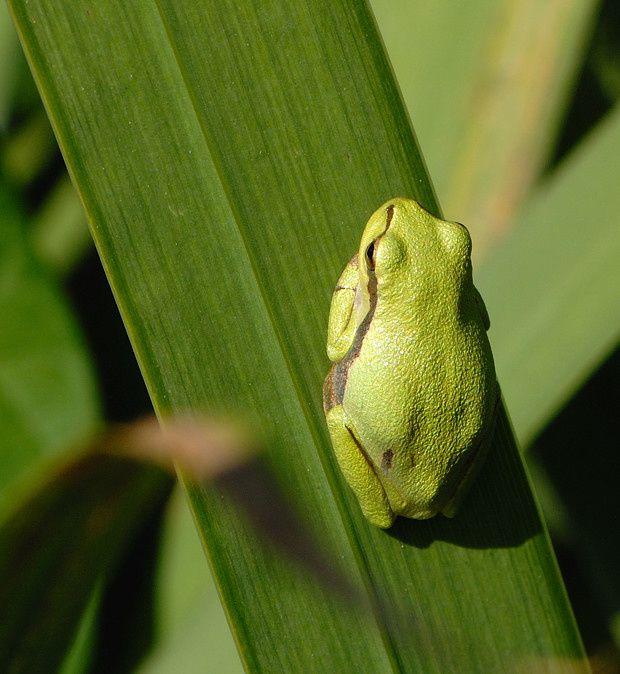 Hyla arborea3 20110714