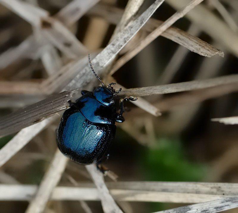 Chrysolina haemoptera4 20120902