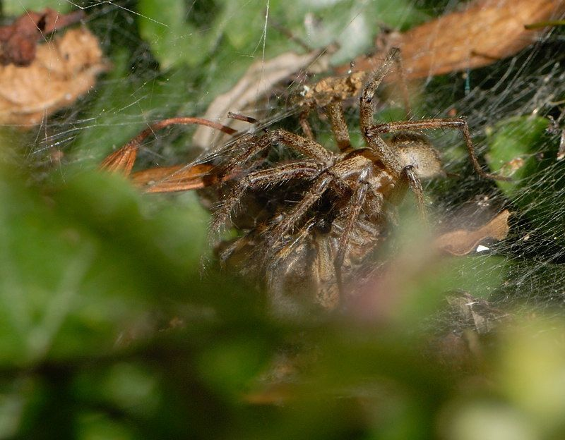 Agelena labyrinthica AC1 25072009