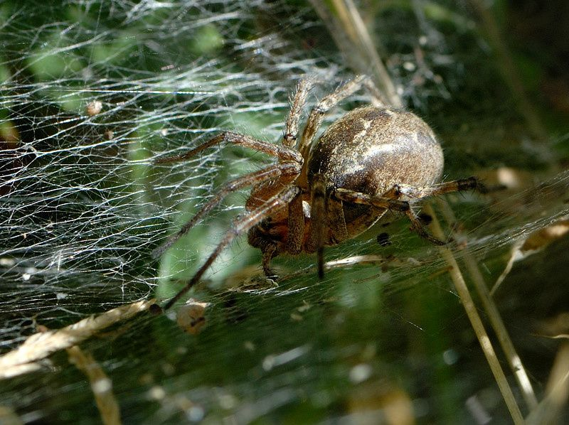 Agelena labyrinthica AC2 25072009