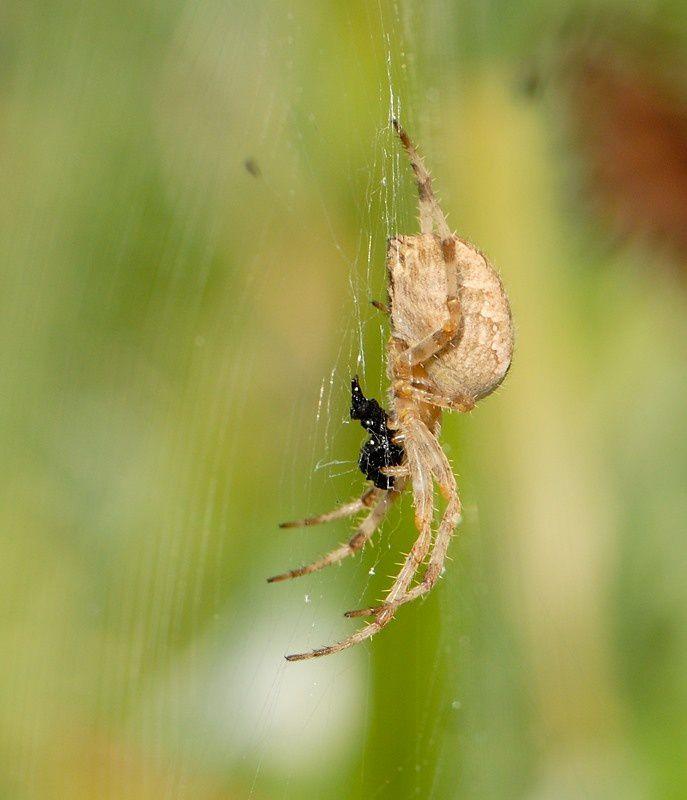 Araneus diadematus F3 20120902